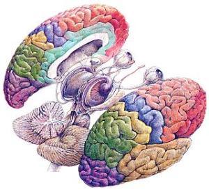 cerebro1